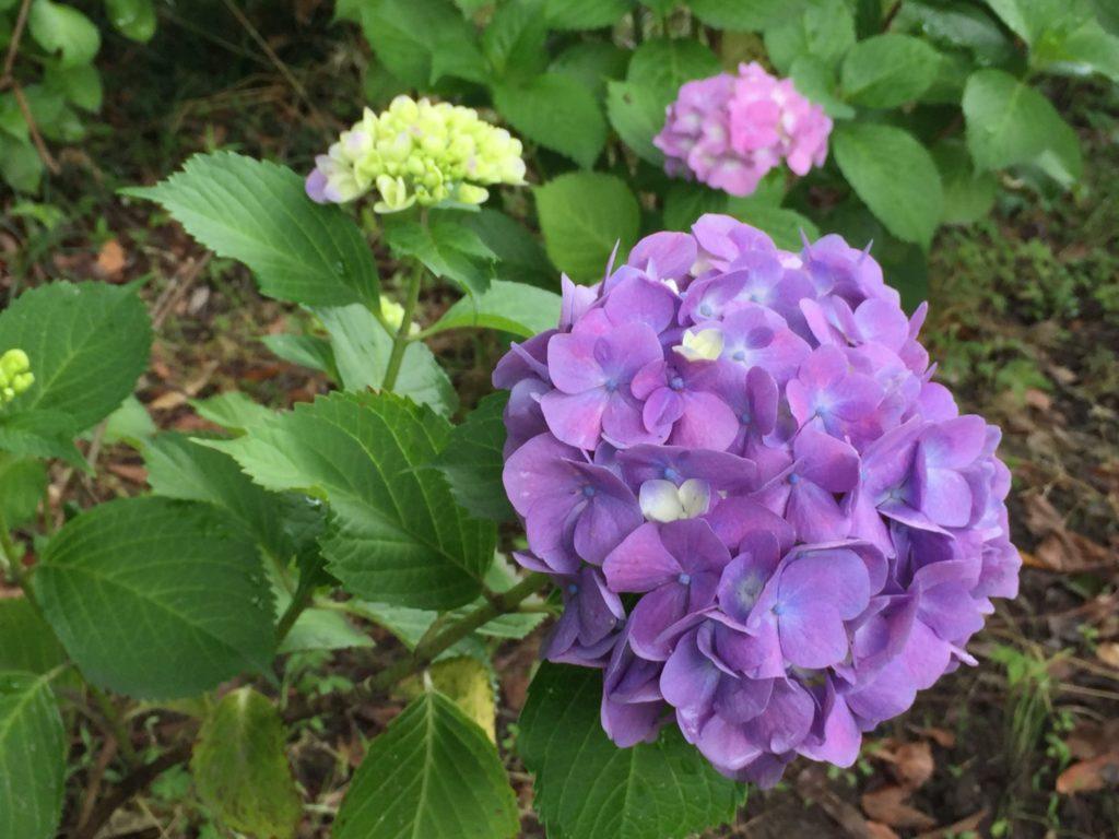 紫陽花 ムラサキ
