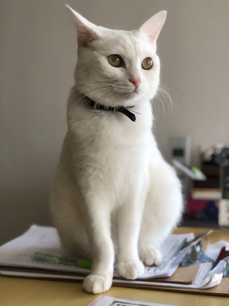 ♀ナイルちゃん保護猫カフェヘミングウェイ