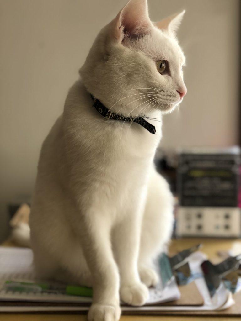 ♀ナイルちゃん 保護猫カフェヘミングウェイ